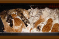 Co Parenting Mother Daughter Maine Coon Cats