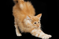 CAT 03 JE0069 01   Norwegian Forest Cat Kitten Stretching On Black