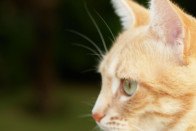 Portrait Of An Orange And White Cat   Cats Animals Background