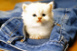 CATS  Birman CatS