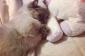 Dreams Are Necessary  Daily Cuteness  Yoda The Munchkin Cat