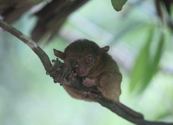 tarsier-cebu-bohol-adventure
