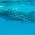 whale-shark-cebu-bohol-adventure-11