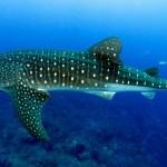 whale-shark-cebu-bohol-adventure-8