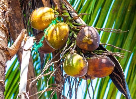 cebu bohol tour coconut