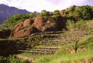 Peridotiti in dossi levigati dal ghiacciaio sostengono le pregiate vigne