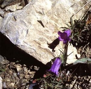 La Campanula alpestris nel suo habitat preferito, il calcare del Fascio di Cogne