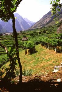 Scorcio delle vigne al culmine della falda detritica