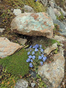 Eritrichium nanum, fiorellino somigliante al non-ti-scordar-di-me, accanto ad un ciottolo di listvenite, roccia prodotta dalla carbonatazione delle serpentiniti nelle faglie profonde.