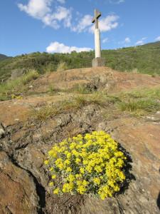 9.Autre spécialité botanique des serpentinites valdôtaines : l'alysson argenté, ici au sommet du Mont Tsailleun.