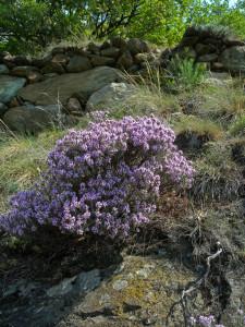 2. Un adepte assidu des rochers en serpentinite : le thym, très riche en huiles essentielles.