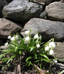 Un ciuffo di Leucojum vernum sotto un muretto a Plout
