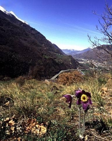 Anemone viola (Pulsatilla montana) e panorama verso il castello di Ussel