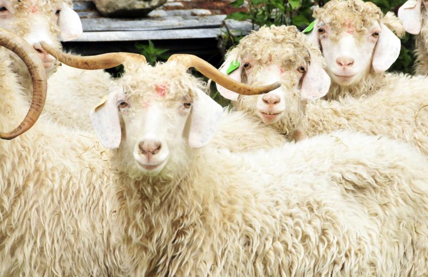 Angora goats at the Preseli Mohair Centre