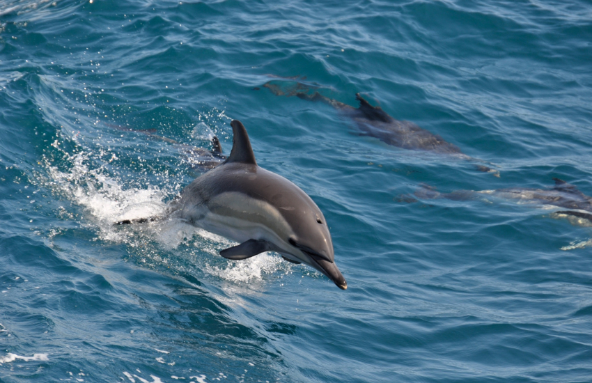 Fishguard harbour is frequented by common dolphins