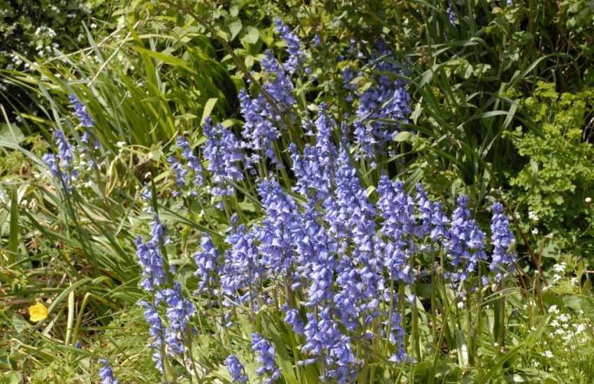 Carpets of Bluebells at nearby Colby Woodland Gardens (N.T) - family  events take place throughout the season and delicious home-made food is served in the tea room