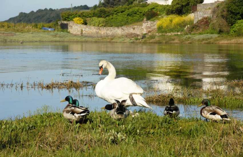 Ducks and swans are often seen feeding down on the foreshore of the Haven Waterway
