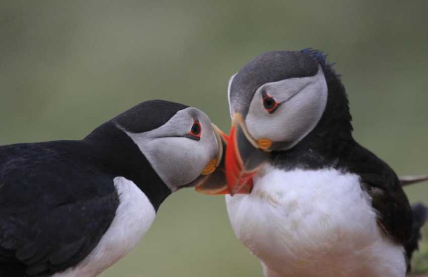Puffins on the Marine Nature Reserve of Skomer Island off the Pembrokeshire Coast - do visit for a real island adventure!