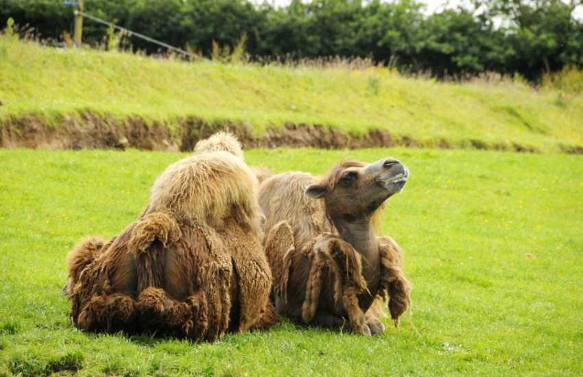 One of the resident camels at Anna Ryder Richardson's 'Wild Welsh Zoo' near Tenby