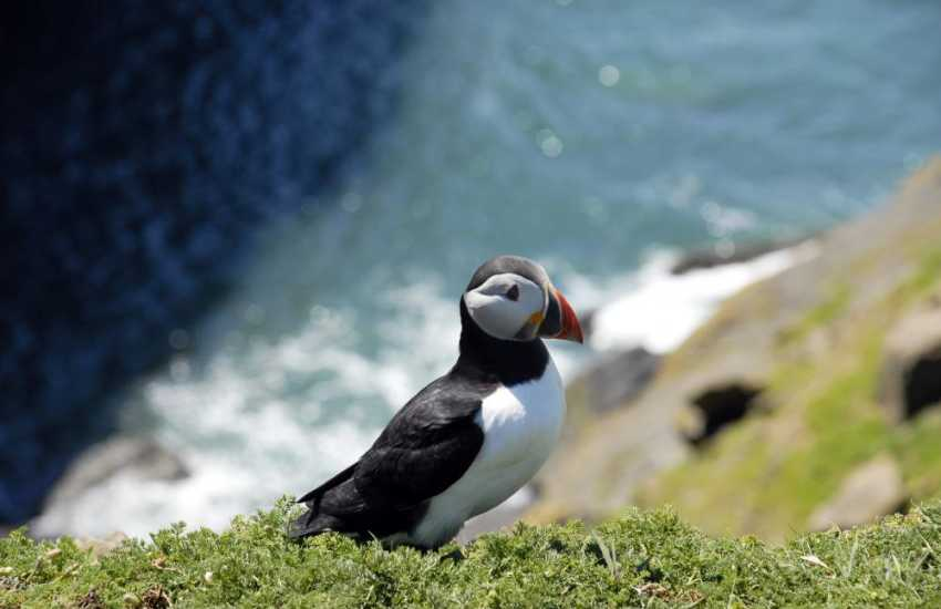 Puffins breed on the cliffs of Skomer Island in early summer