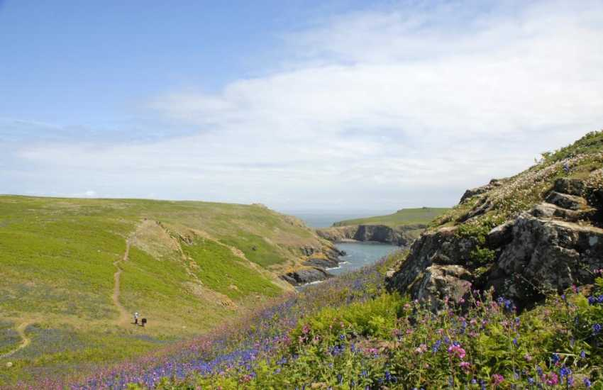 Carpets of Bluebells and Red Campion in early summer on the Marine Nature Reserve of Skomer Island - do visit any time during the season for wonderful wildlife and a real island adventure