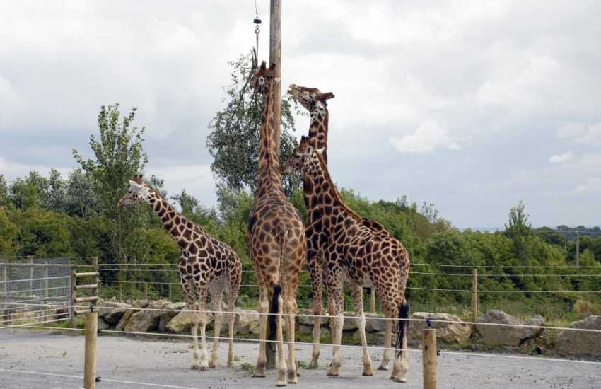 Watch the giraffes feeding at Folly Farm Adventure Park and Zoo