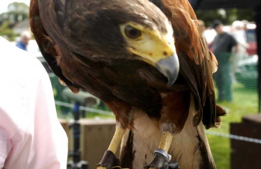 Birds of prey can be admired at the annual Medieval Day held in Cardigan Castle