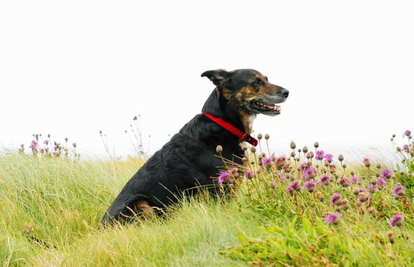 Lucky enjoying her holiday and the fresh sea air - most of our holiday cottages welcome pets