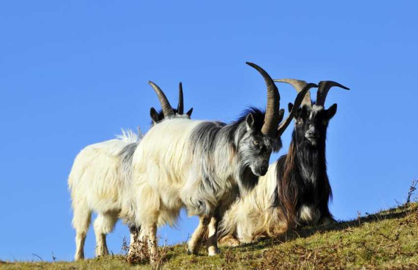 Wild Goats in the Rhinog mountains, a short drive from Harlech