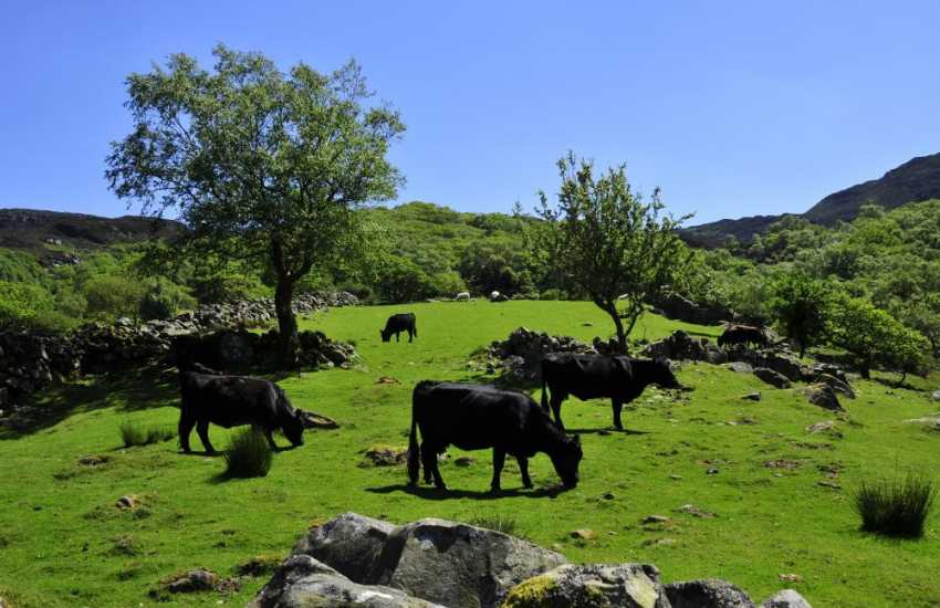 Welsh black cattle on the mountains at Cwm Bychan