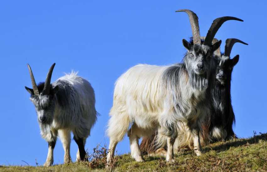 Wild goats at Cwm Bychan