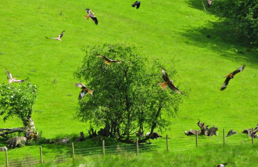 The Red Kite feeding station at Gigrin farm,daily throughout the year.A half hours drive from Mill House
