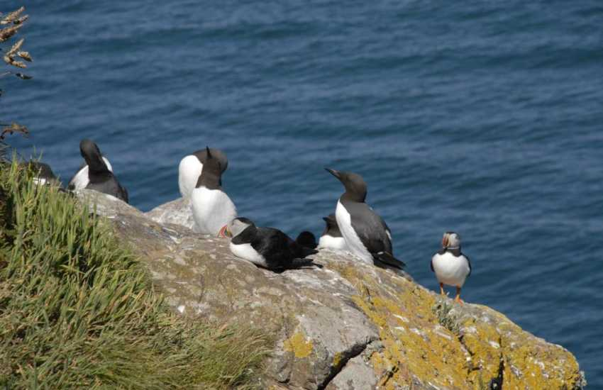 Ramsey Island is home to characteristic sea birds auks, kittiwakes, shearwaters, peregrines, choughs and more