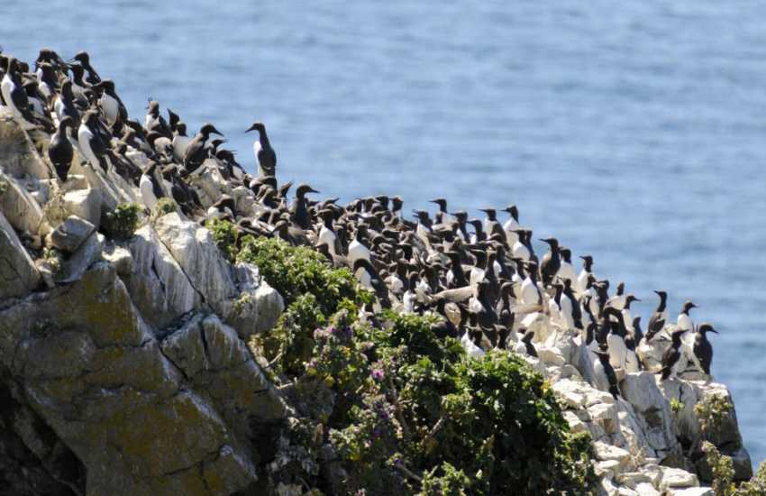 Guillemots on the Marine Nature Reserve of Skomer Island - do visit for stunning wildlife and a real island adventure