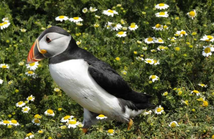 Skomer Island is home to breeding Puffins during the summer months and are a delight to watch