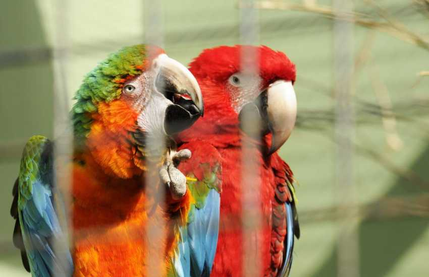 Long tailed Macaws at Anna Ryder Richardson's 'Wild Welsh Zoo' near Tenby