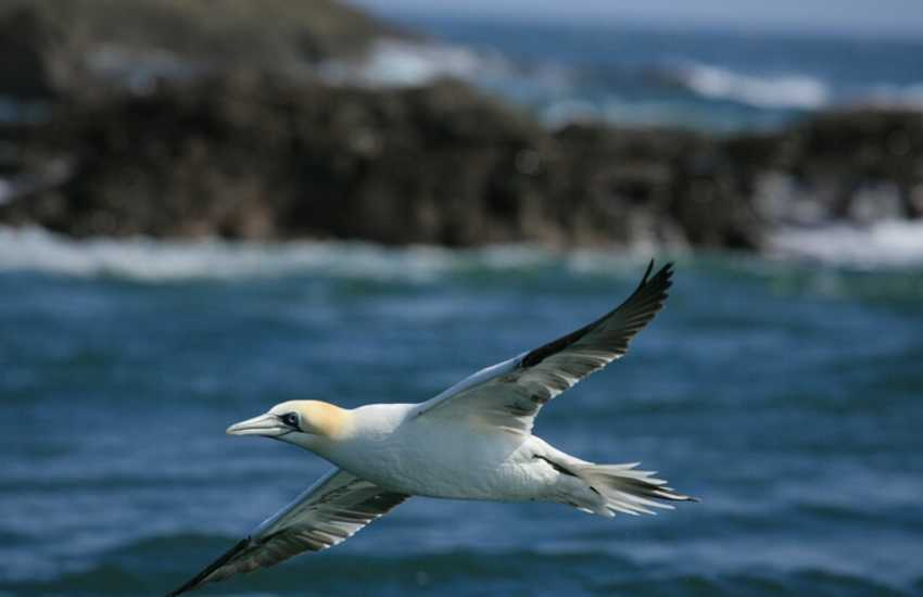 Grassholm Island RSPB bird sanctuary is the only Gannet colony in Wales and one of the largest in the world