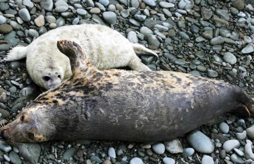 The Pembrokeshire coast is a favoured breeding ground for Atlantic grey seals during autumn time