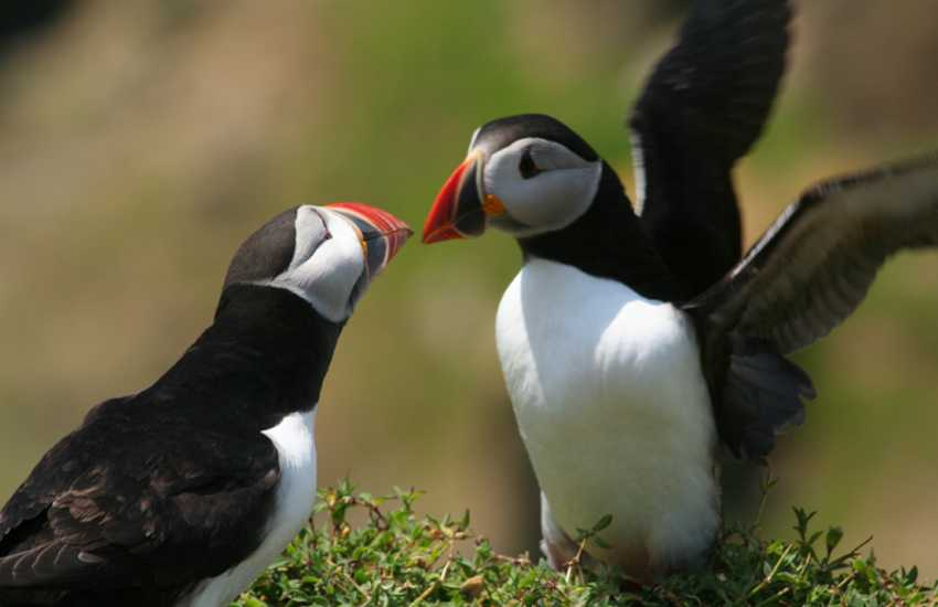 Skomer Island wildlife sanctuary is home to breeding Puffins during early summer. Take a boat trip to enjoy the wonderful spectacle close up!