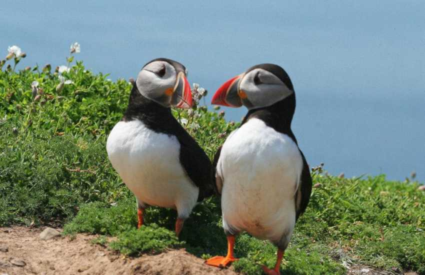 The Pembrokeshire Coast is a wildlife paradise throughout spring, summer and autumn. Visit offshore islands to view puffins