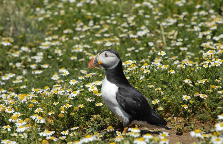 Skomer and Skokholm Islands provide temporary summer residence for breeding Shearwaters, Razorbills, Kittiwakes and Puffins