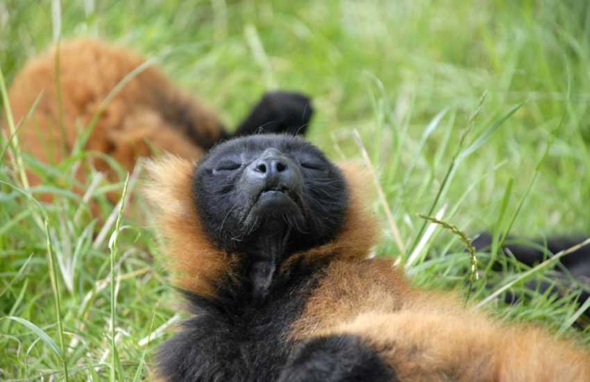 A Red Ruffed Lemur enjoying the afternoon sun!