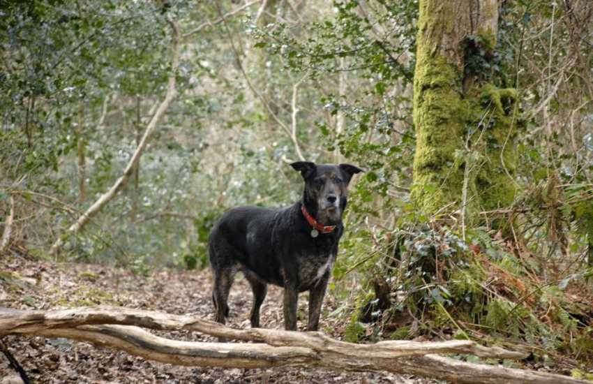 Most of our cottages welcome dogs - 'Lucky' enjoying a woodland walk