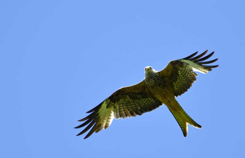 Red kites up in the sky are a common site, Red Kites can also be seen at the feeding station at Llandeisant