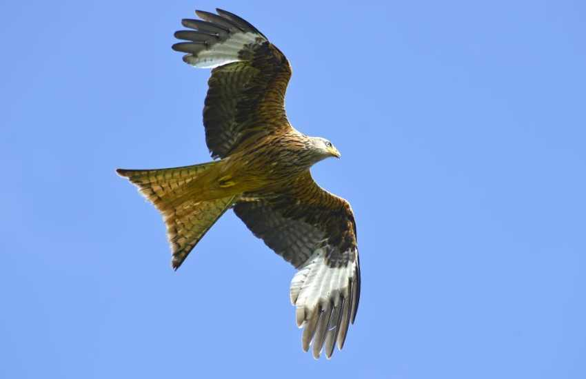Llandeusant Red Kite Feeding Station, over 50 red kites and buzzards are fed daily a must for bird lovers
