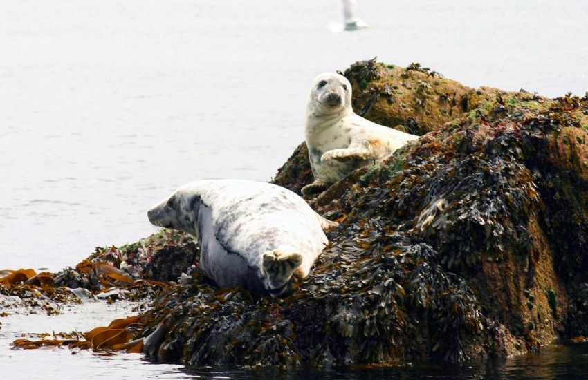 Atlantic Grey Seals may often be spotted lounging on the rocks of Ramsey Island