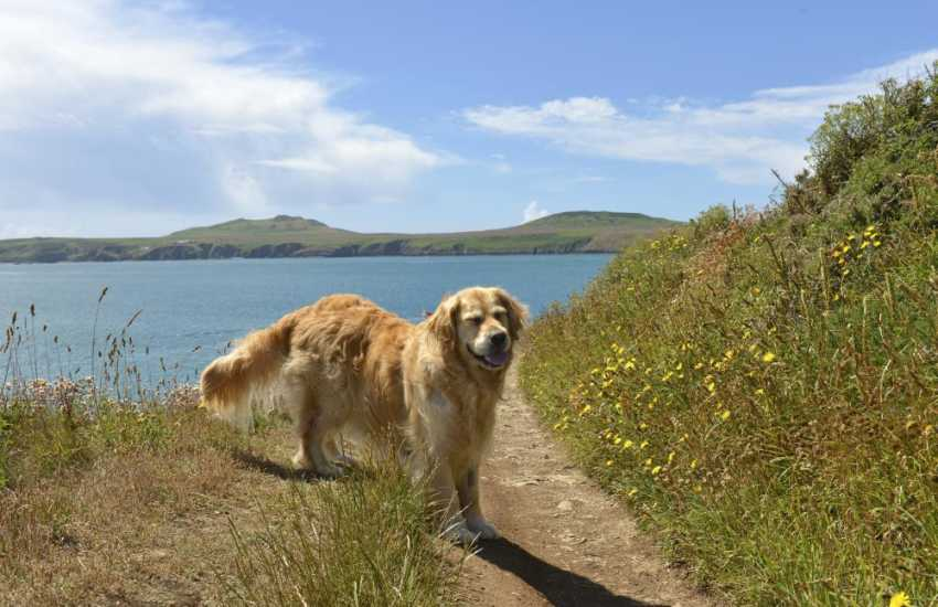 'Honey' enjoying her walk on the coastal path with views of Ramsey Island from St Justinian