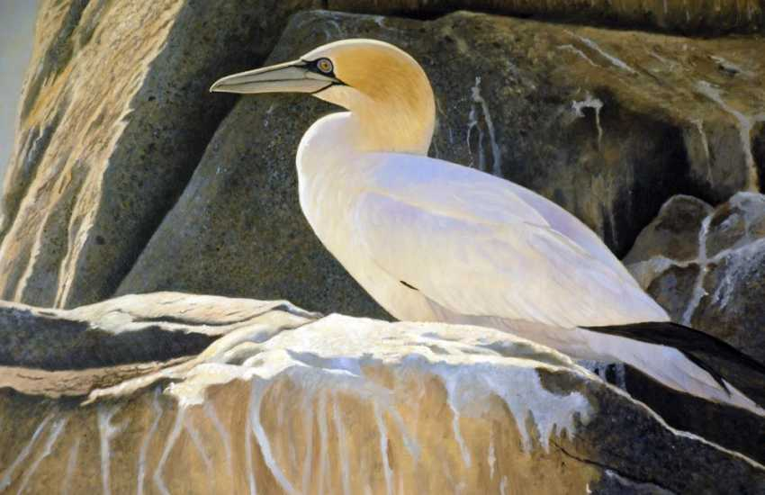 Gannet on the cliffs - stunning paintings of wildlife hang on the walls of The Burgage