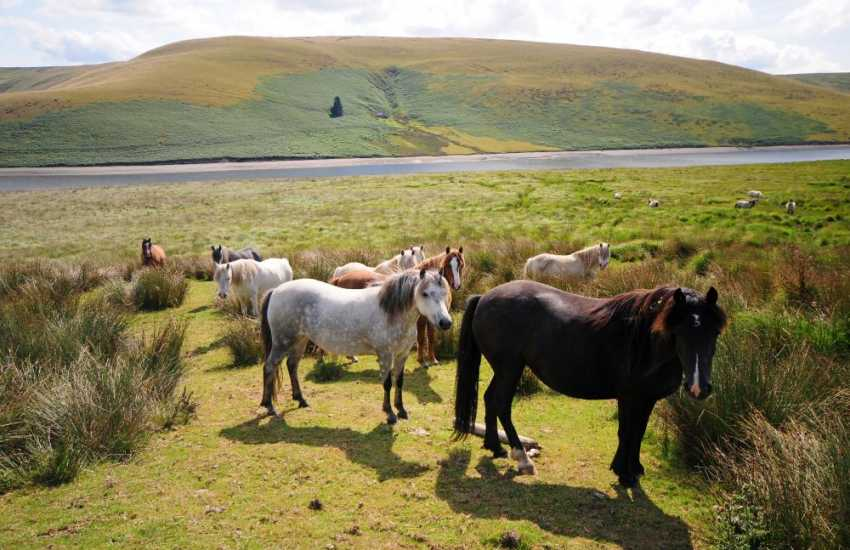 Horses beside the road between Elan Valley and Devil's Bridge