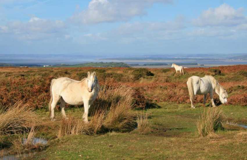 Wild ponies on the Gower Way, Reynoldston, Gower